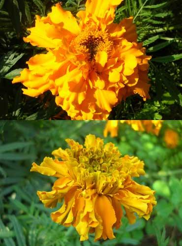 Marigold6